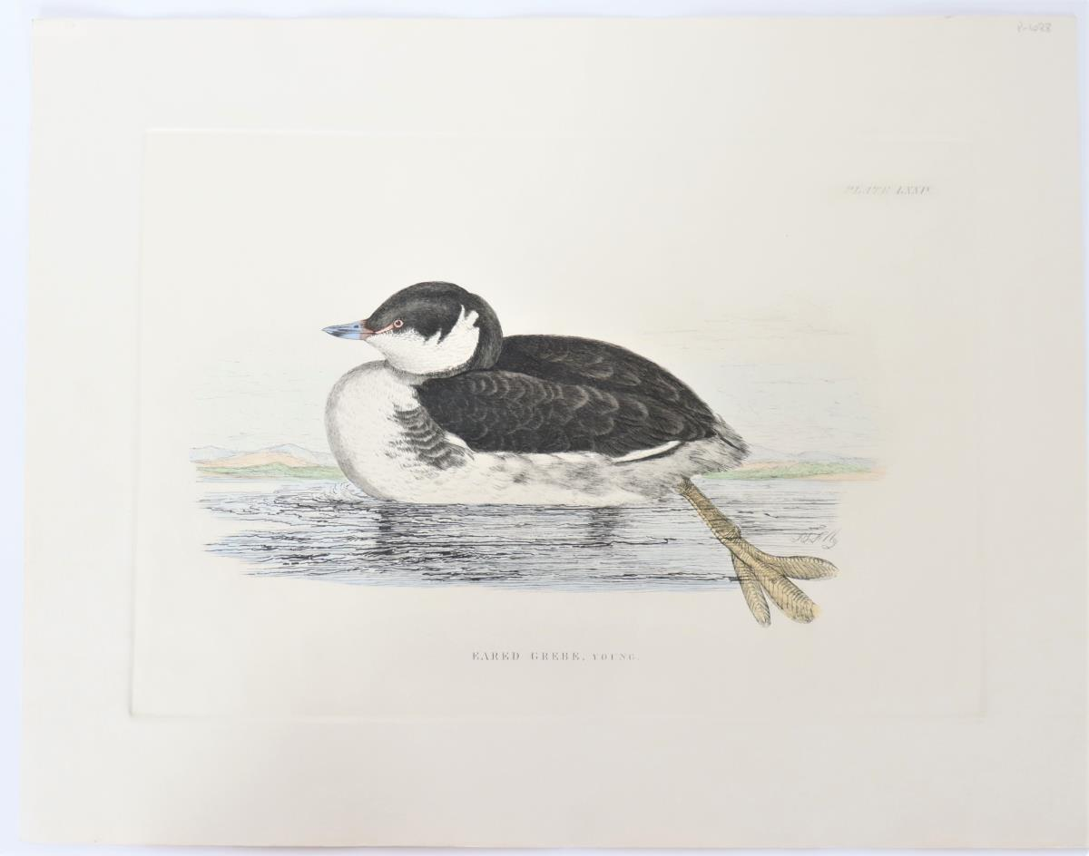 P J Selby, Hand-Colored Engraving, Eared Grebe