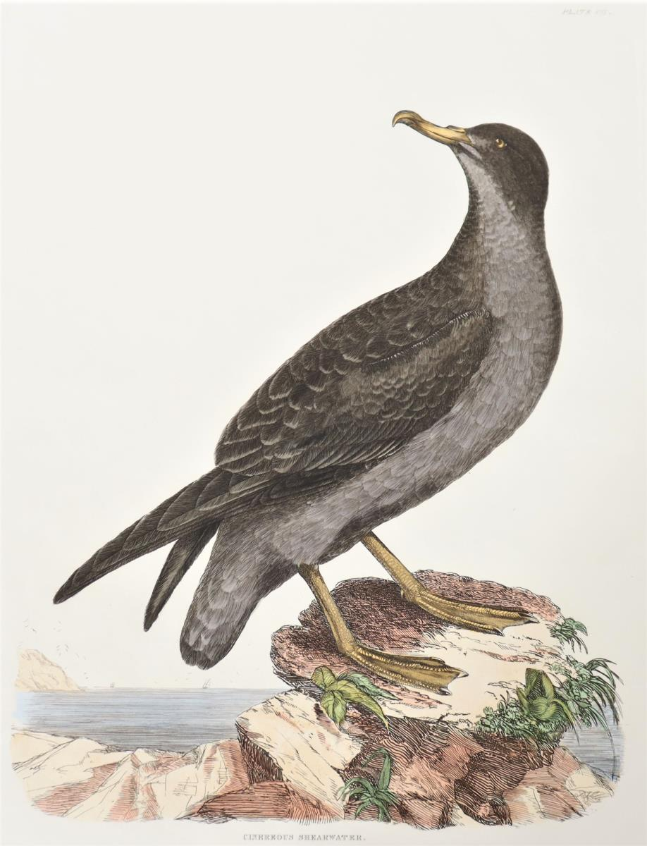 Selby Hand-Colored Engraving Cinereous Shearwater - Image 3 of 4
