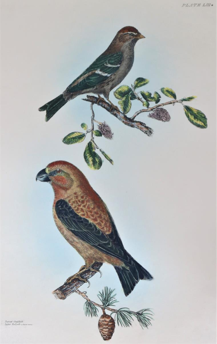 P J Selby, Hand-Colored Engraving, Parrot - Image 3 of 4