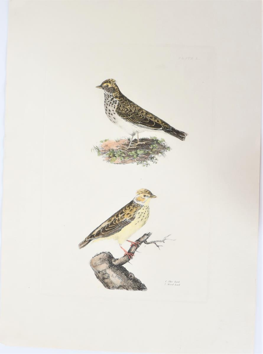 P J Selby, Hand-Colored Engraving, Sky Lark