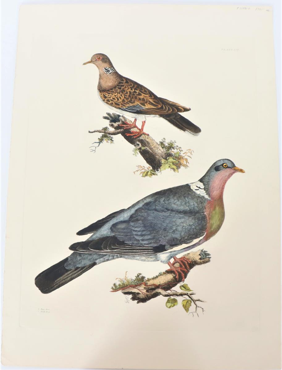 P J Selby, Hand-Colored Engraving, Doves 19th C.