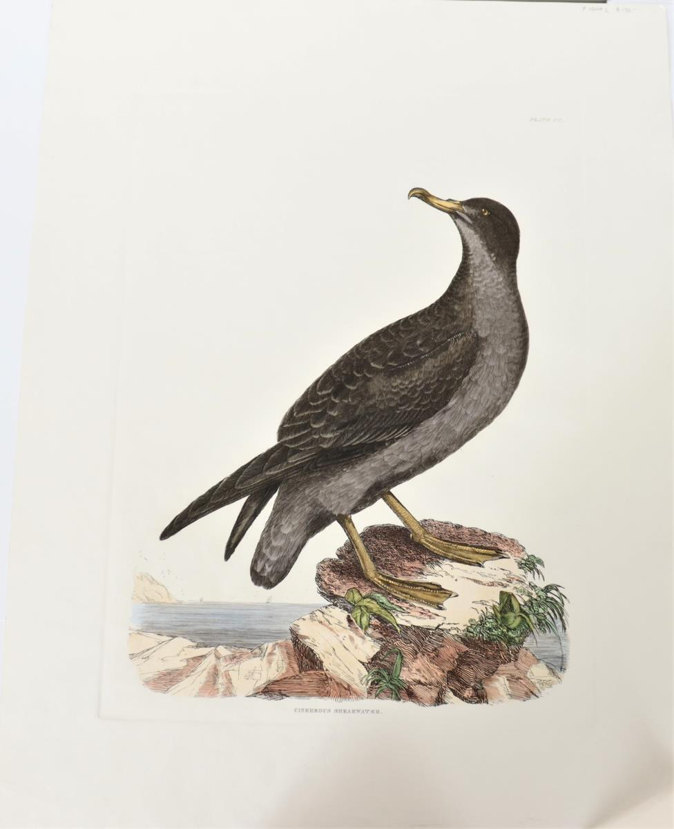 Selby Hand-Colored Engraving Cinereous Shearwater