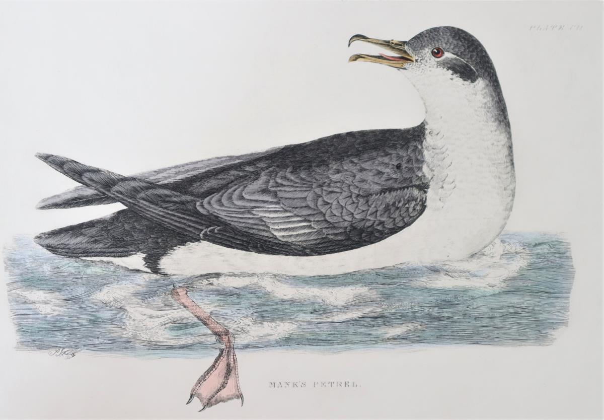 P J Selby, Hand-Colored Engraving, Mank's Petrel - Image 3 of 6