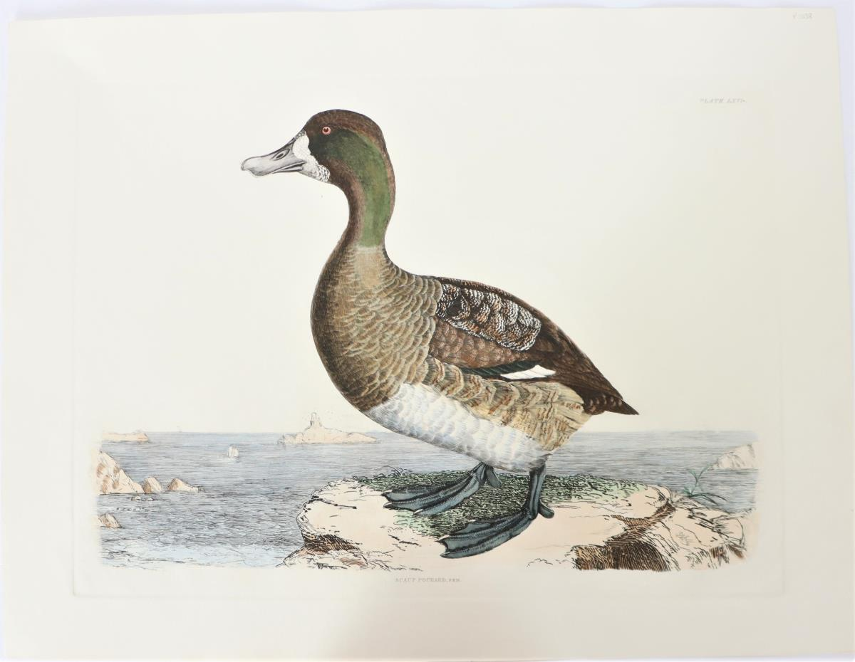 P J Selby, Hand-Colored Engraving, Scaup Pochard 1