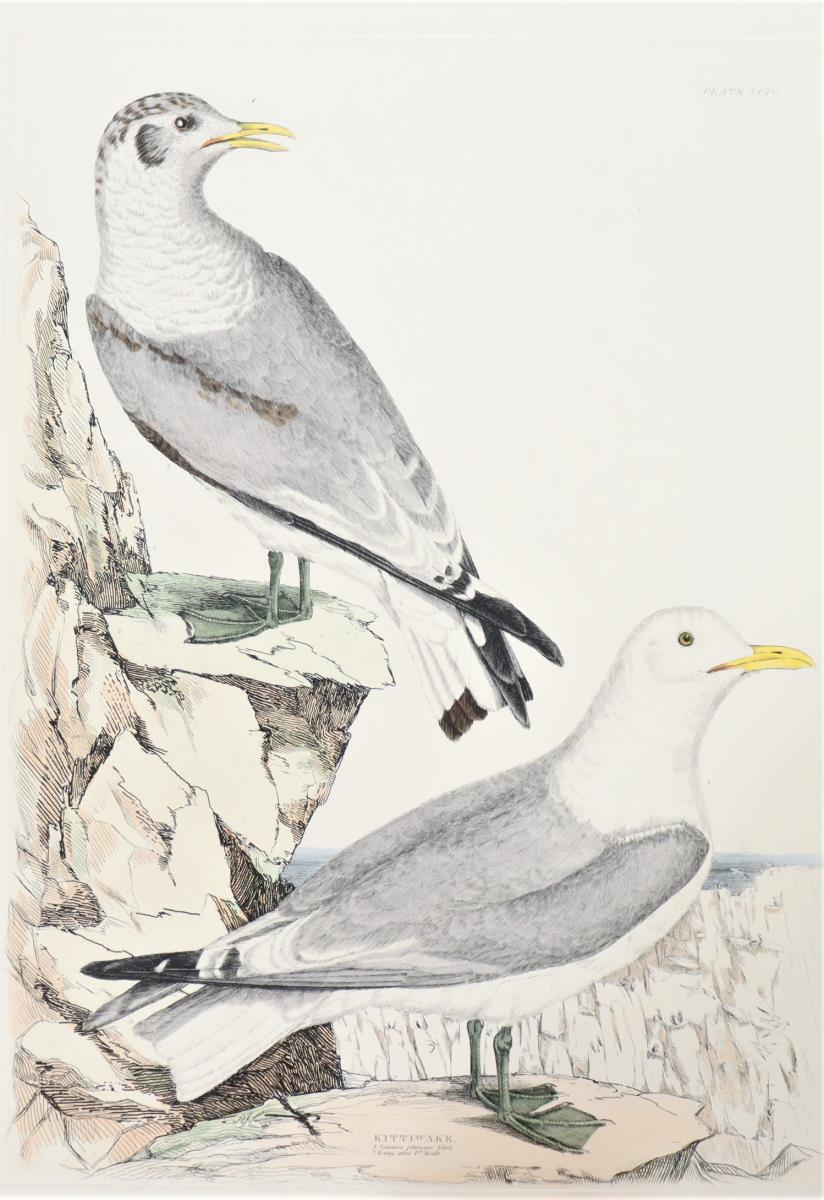 P J Selby, Hand-Colored Engraving, Kittiwake - Image 3 of 4