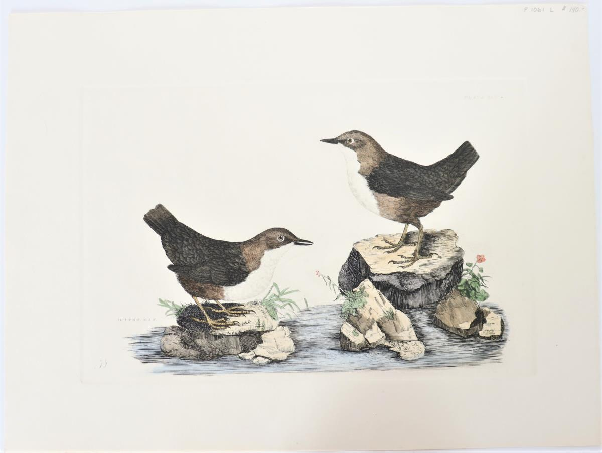P J Selby, Hand-Colored Engraving, Dipper 19th C.