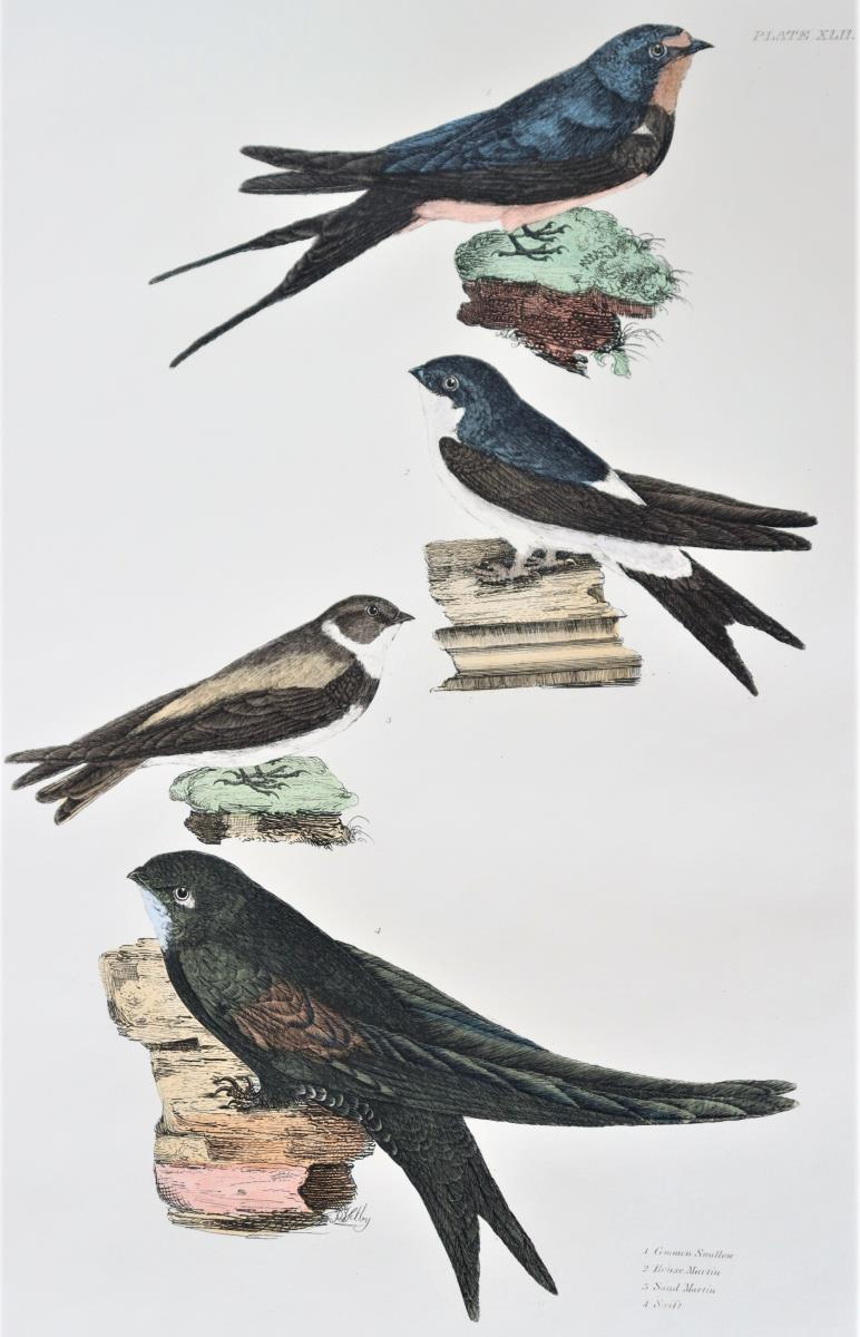 P J Selby, Hand- Colored Engraving, Swallow - Image 4 of 6