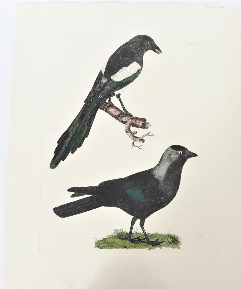 P J Selby, Hand-Colored Engraving, Jack-daw, Magpi
