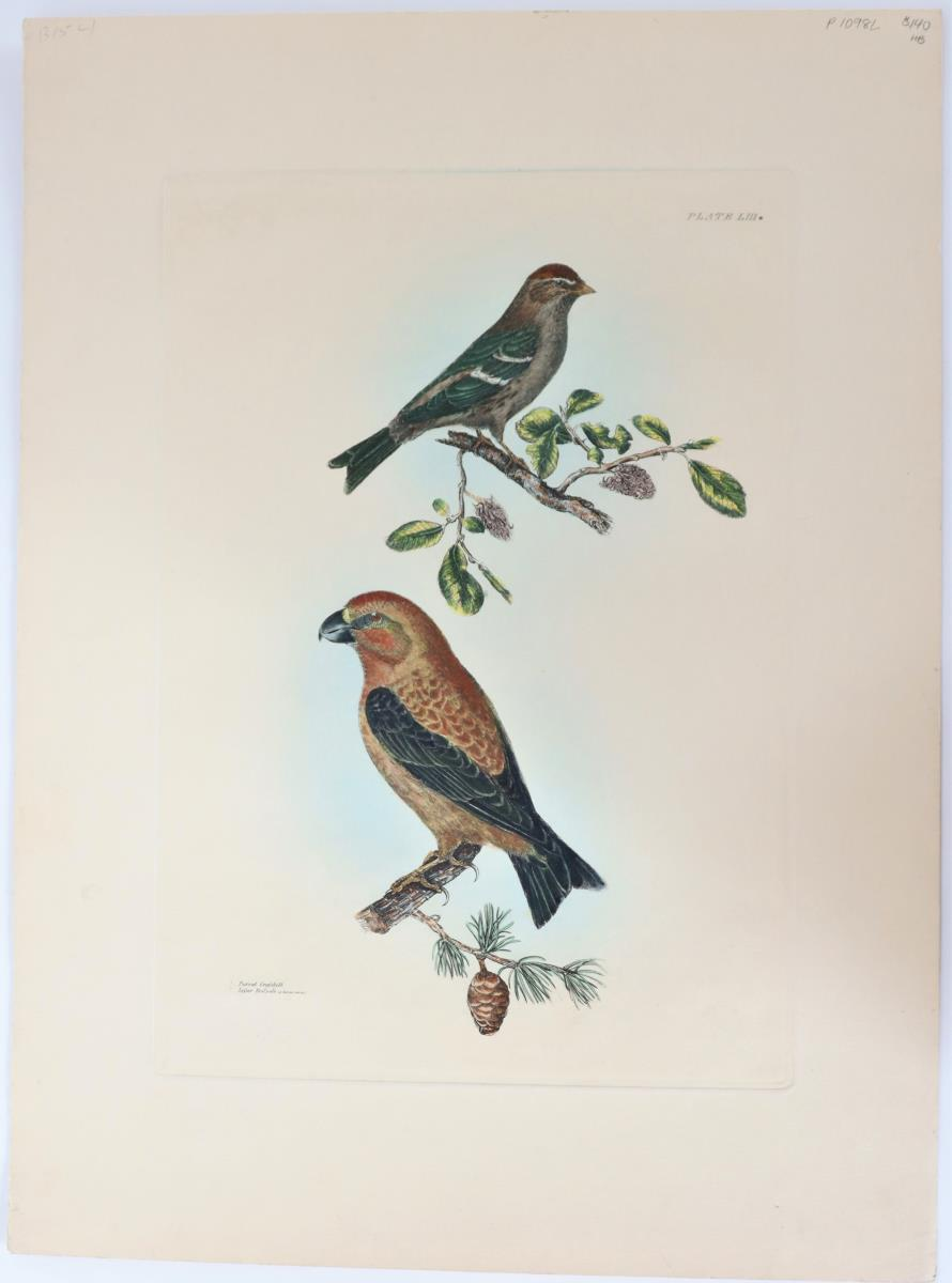 P J Selby, Hand-Colored Engraving, Parrot