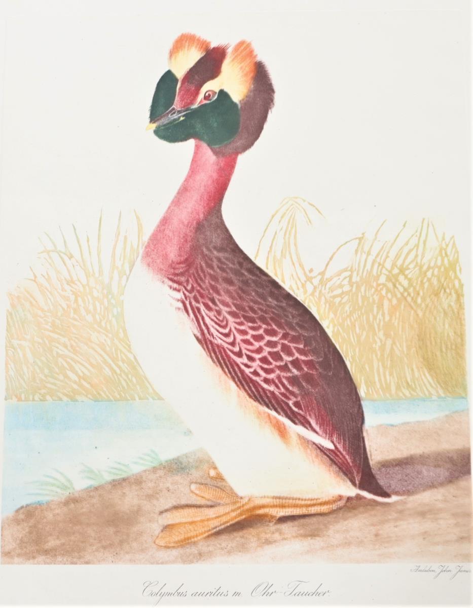 Audubon Hand-Colored Engraving, Horned Grebe 19thC - Image 4 of 4