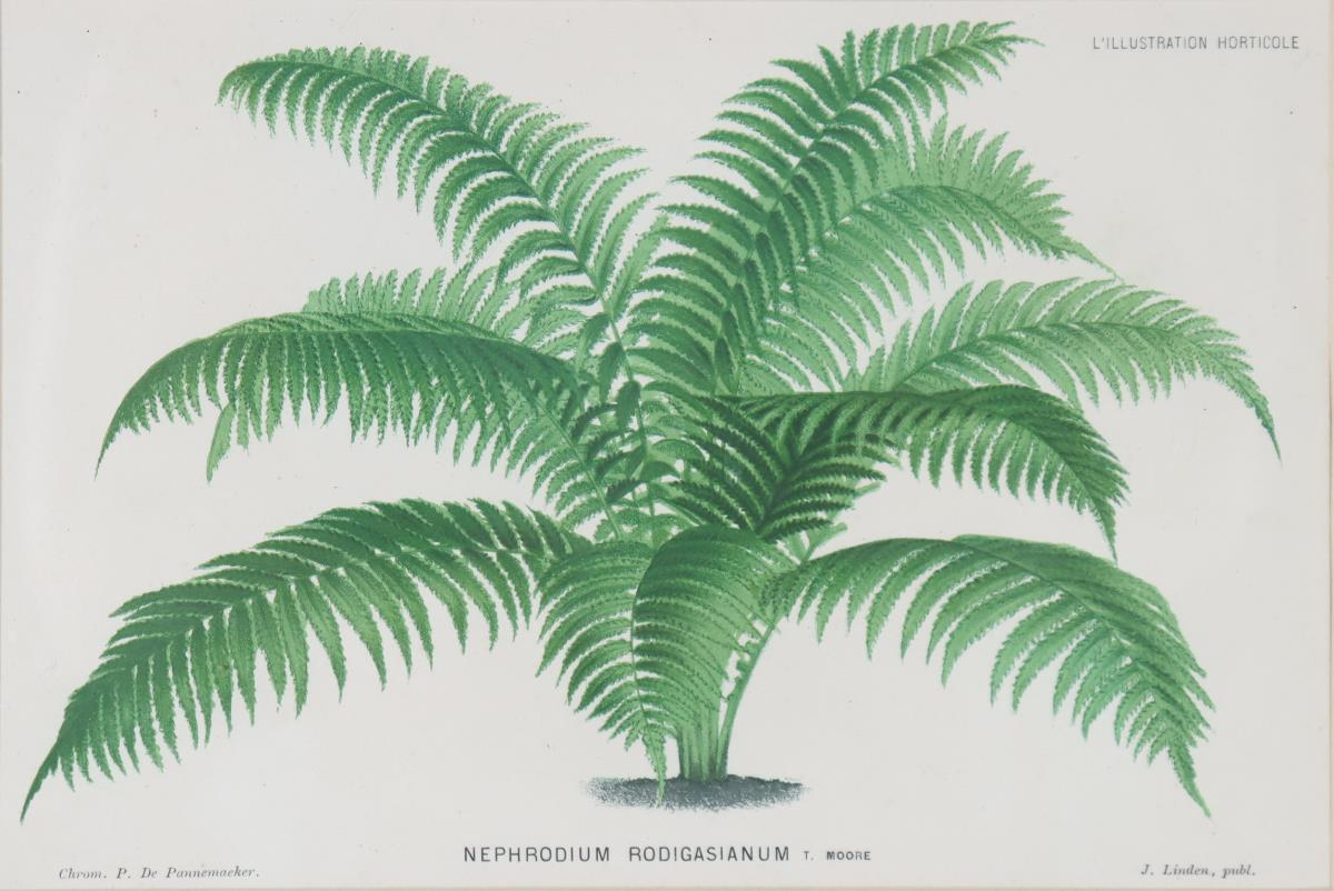 Vintage Botanical Print - Image 4 of 5