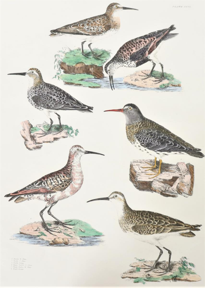 P J Selby, Hand-Colored Engraving, Dunlin, Curlew - Image 3 of 4