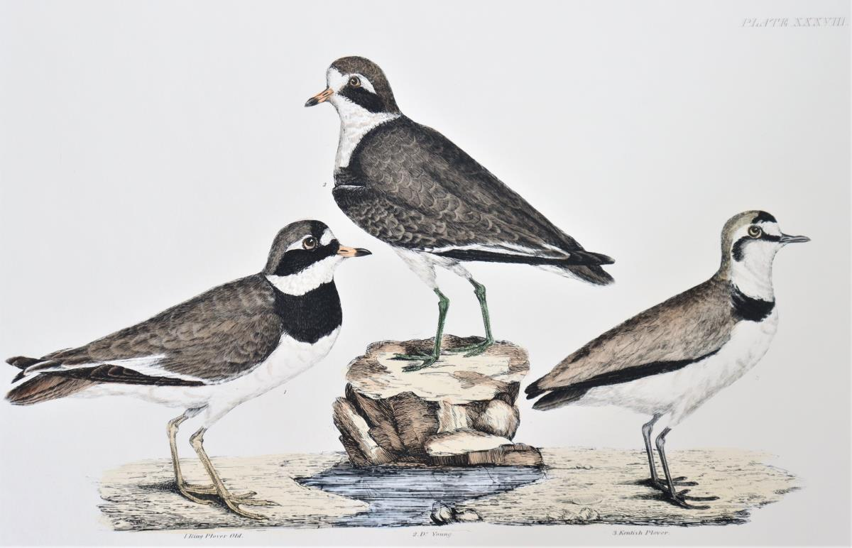 P J Selby, Hand-Colored Engraving, Plover 19th C. - Image 3 of 8