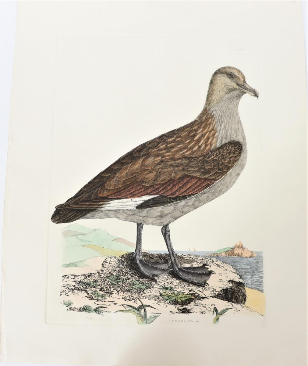P J Selby, Hand-Colored Engraving, Common Skua