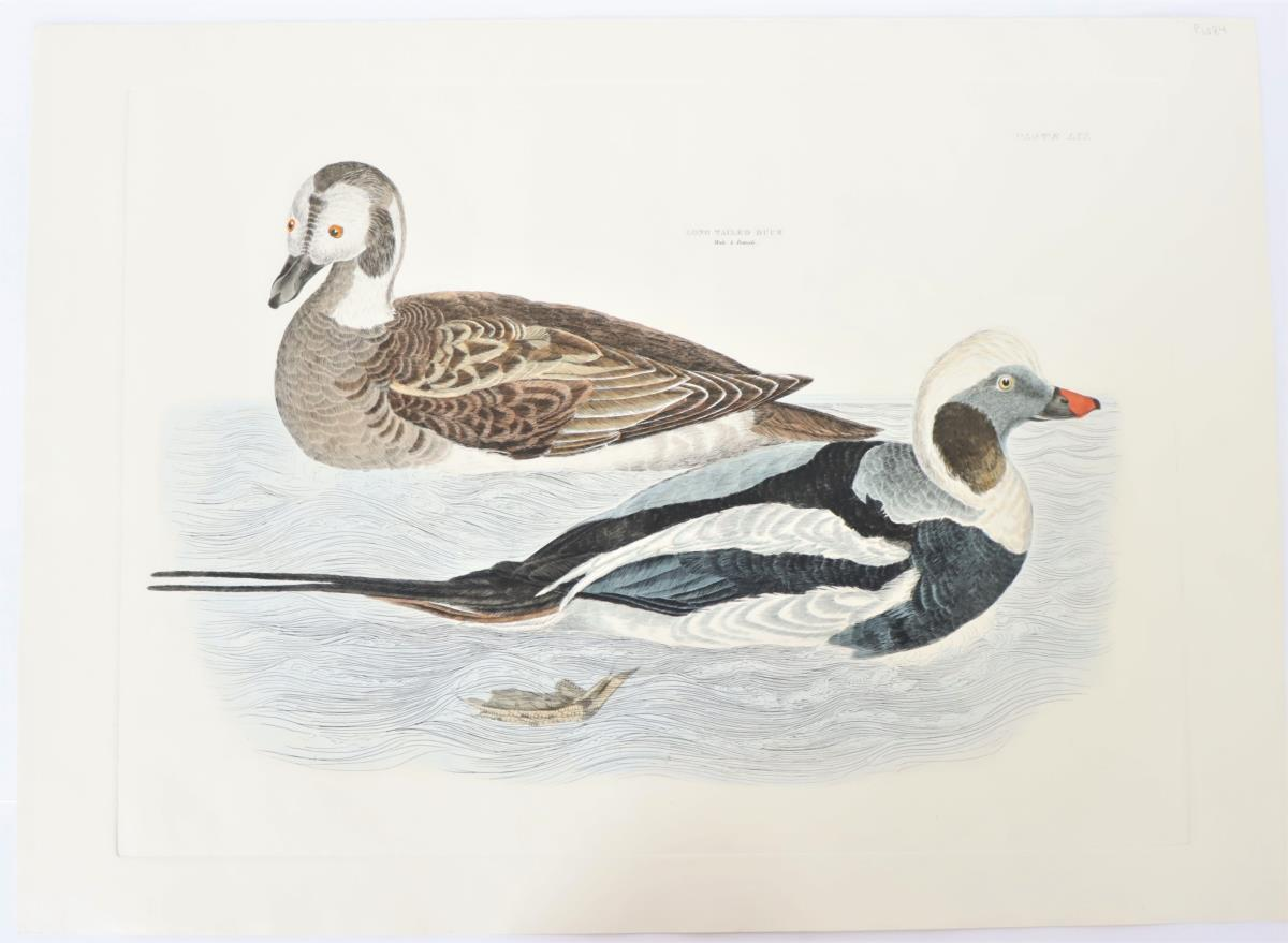 P J Selby, Hand-Colored Engraving, Long-Tailed