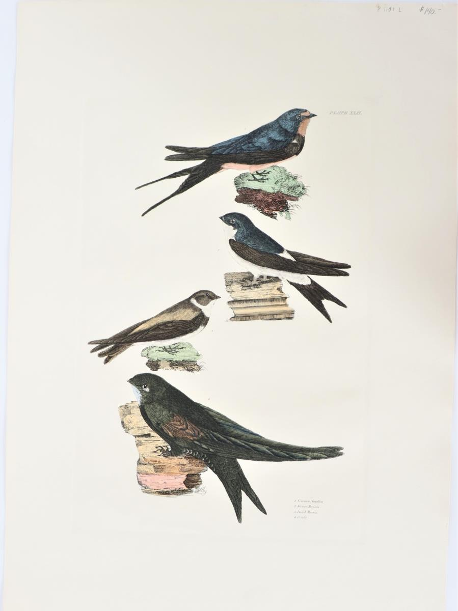 P J Selby, Hand- Colored Engraving, Swallow