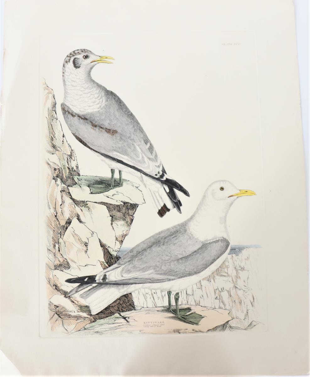 P J Selby, Hand-Colored Engraving, Kittiwake