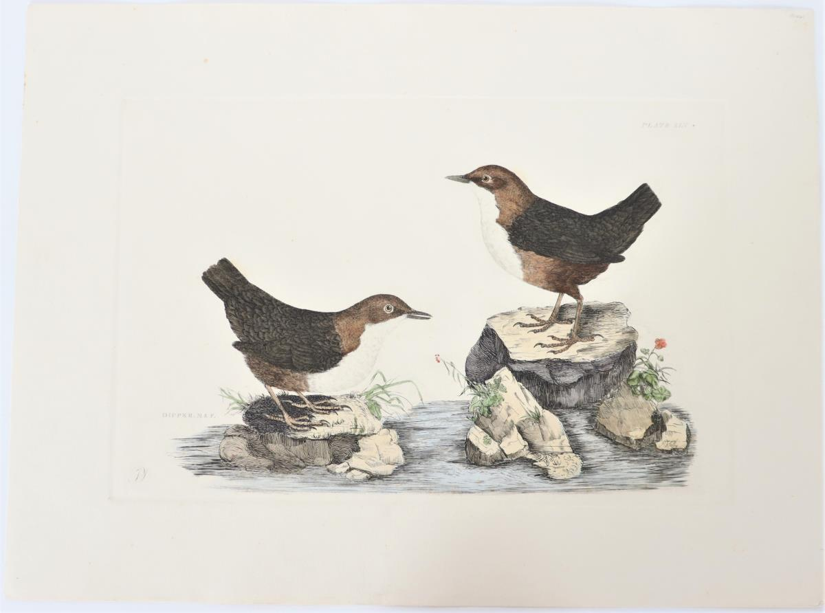 P J Selby, Hand-Colored Engraving, Dipper 19th C. - Image 2 of 4
