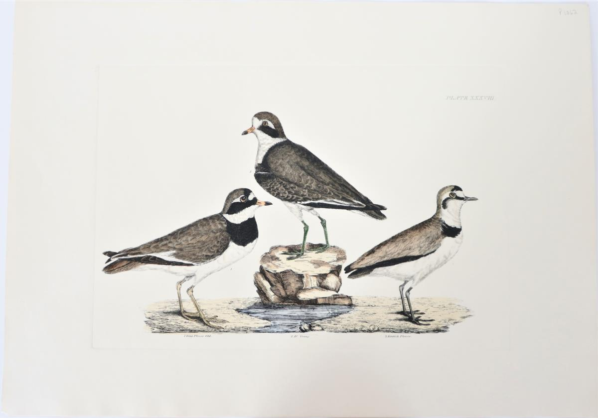 P J Selby, Hand-Colored Engraving, Plover 19th C.