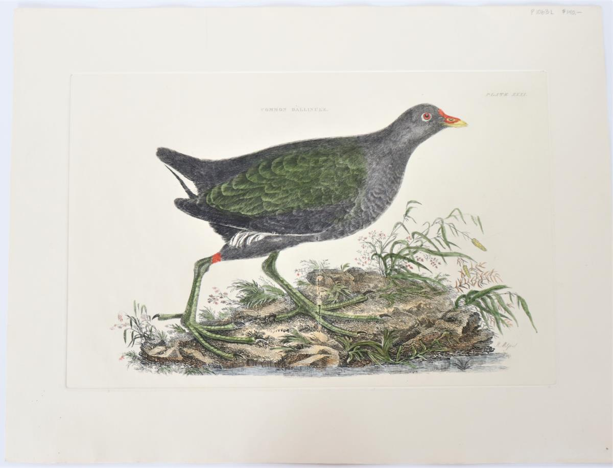 R Mitford, Hand-Colored Engraving, Common Gallinul