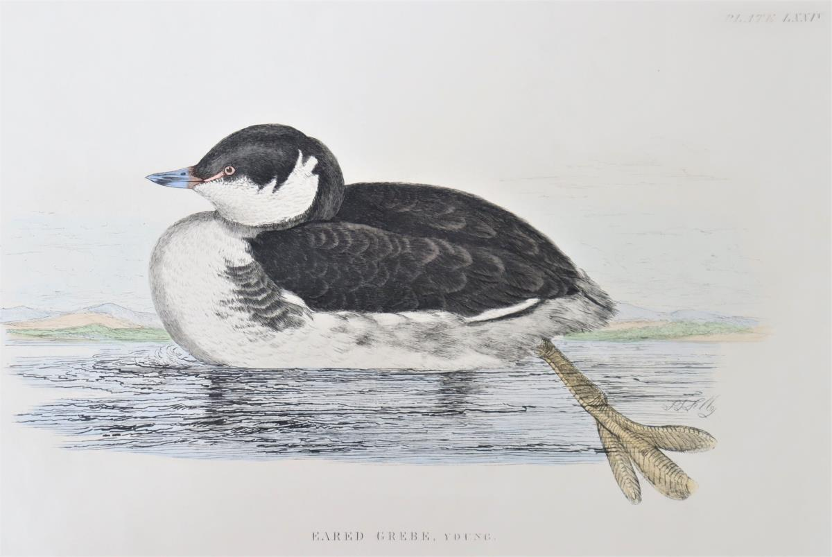 P J Selby, Hand-Colored Engraving, Eared Grebe - Image 4 of 6