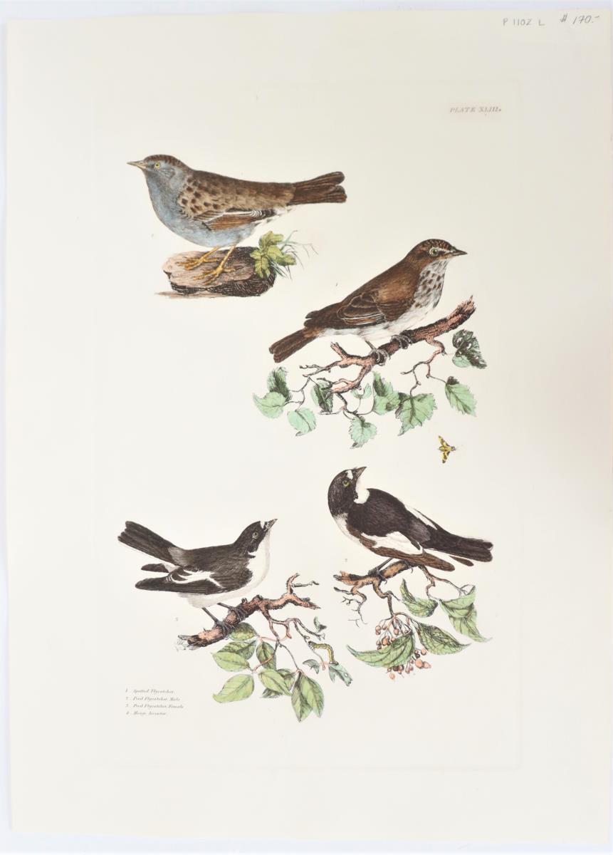 P J Selby, Hand-Colored Engraving, Flycatchers - Image 2 of 4