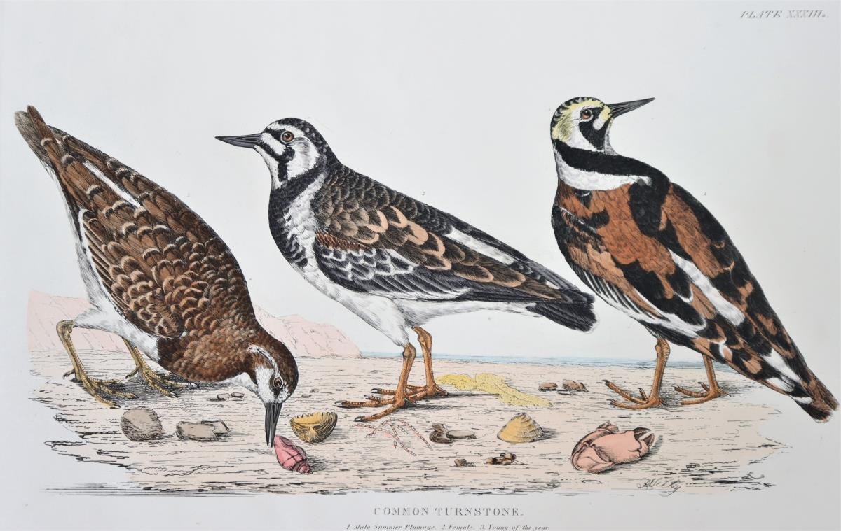 P J Selby, Hand-Colored Engraving, Common Turnston - Image 3 of 6