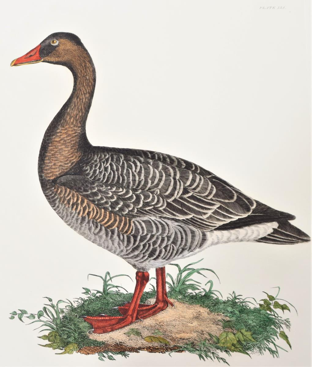P J Selby, Hand-Colored Engraving, Wild Goose - Image 3 of 4