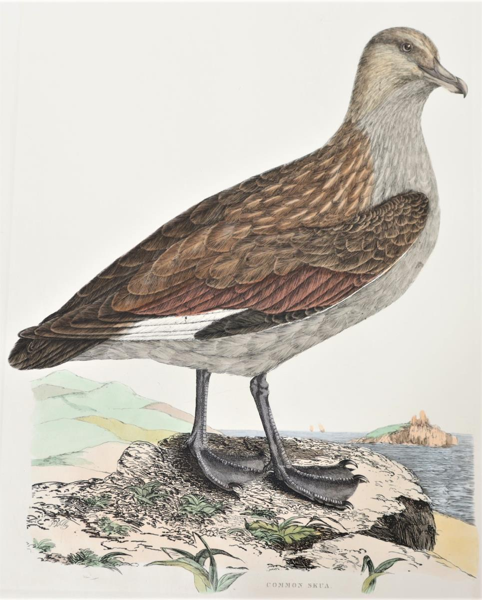 P J Selby, Hand-Colored Engraving, Common Skua - Image 3 of 4