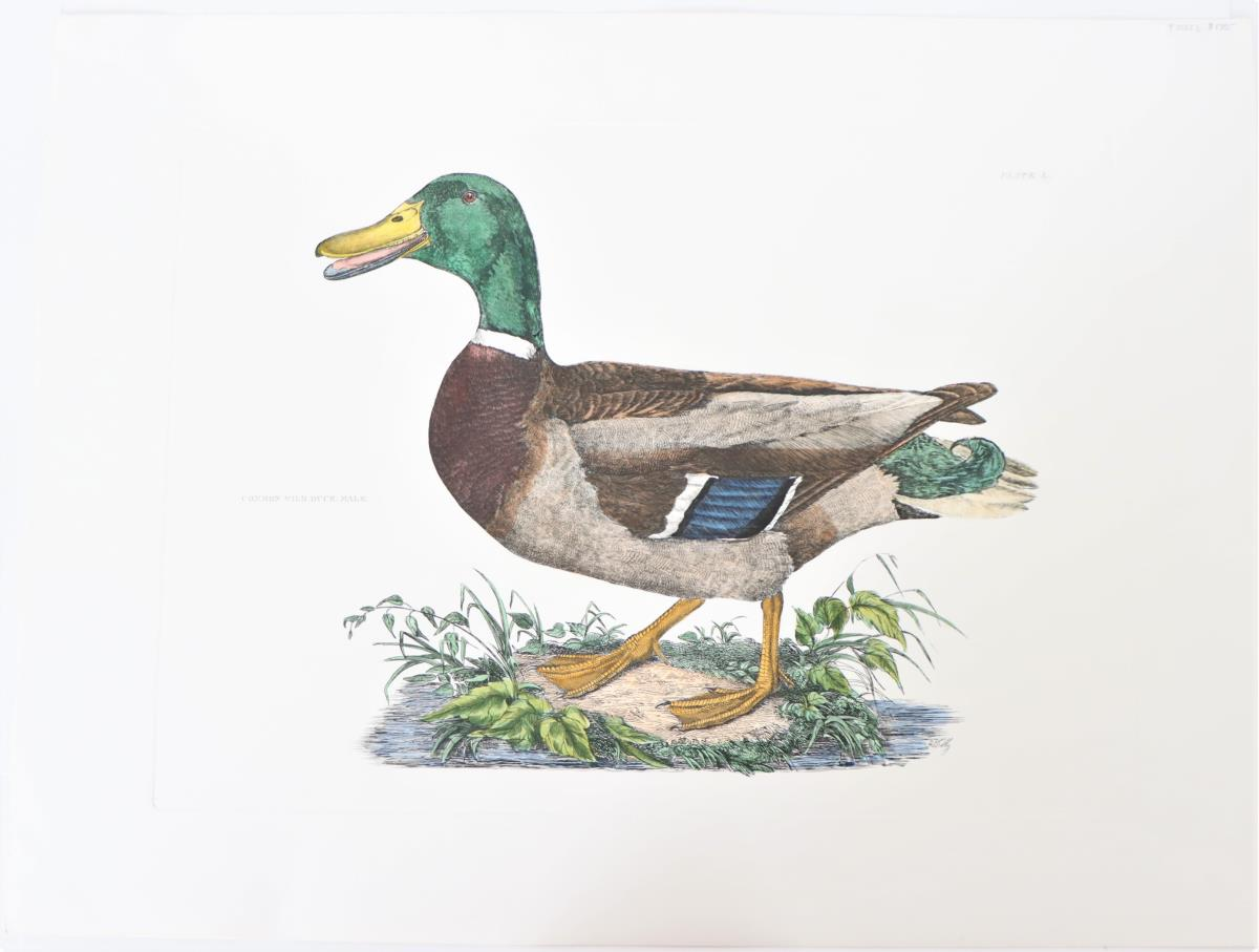 P J Selby, Hand-Colored Engraving, Wild Duck