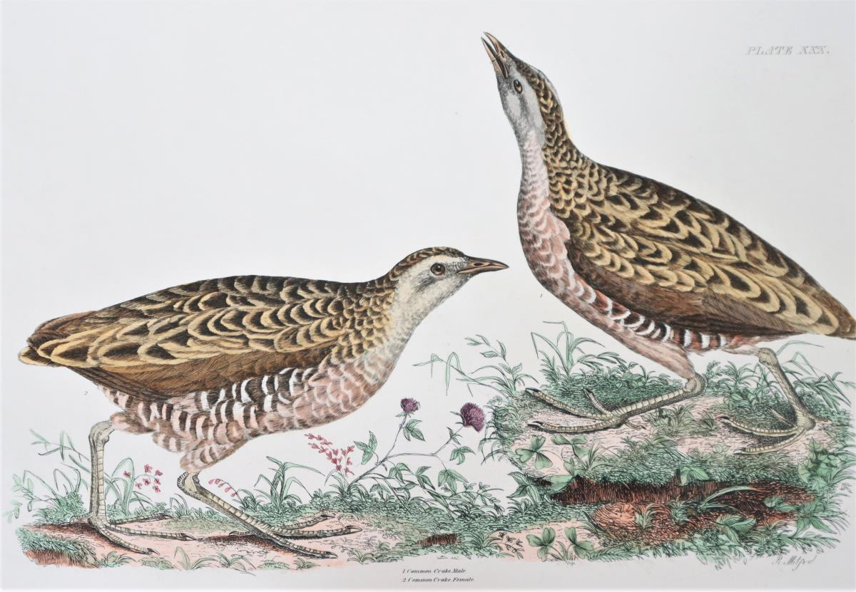 R Mitford, Hand-Colored Engraving, Common Crake 19 - Image 4 of 6
