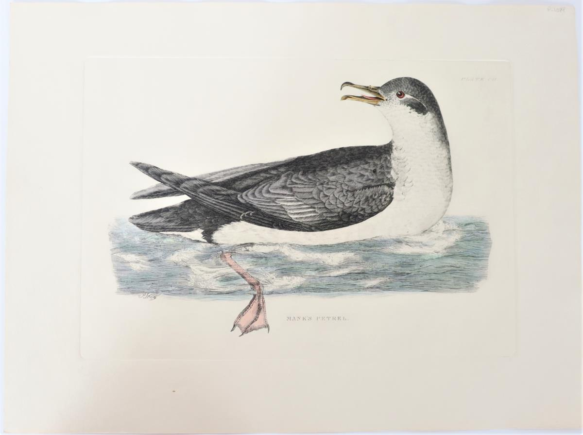 P J Selby, Hand-Colored Engraving, Mank's Petrel