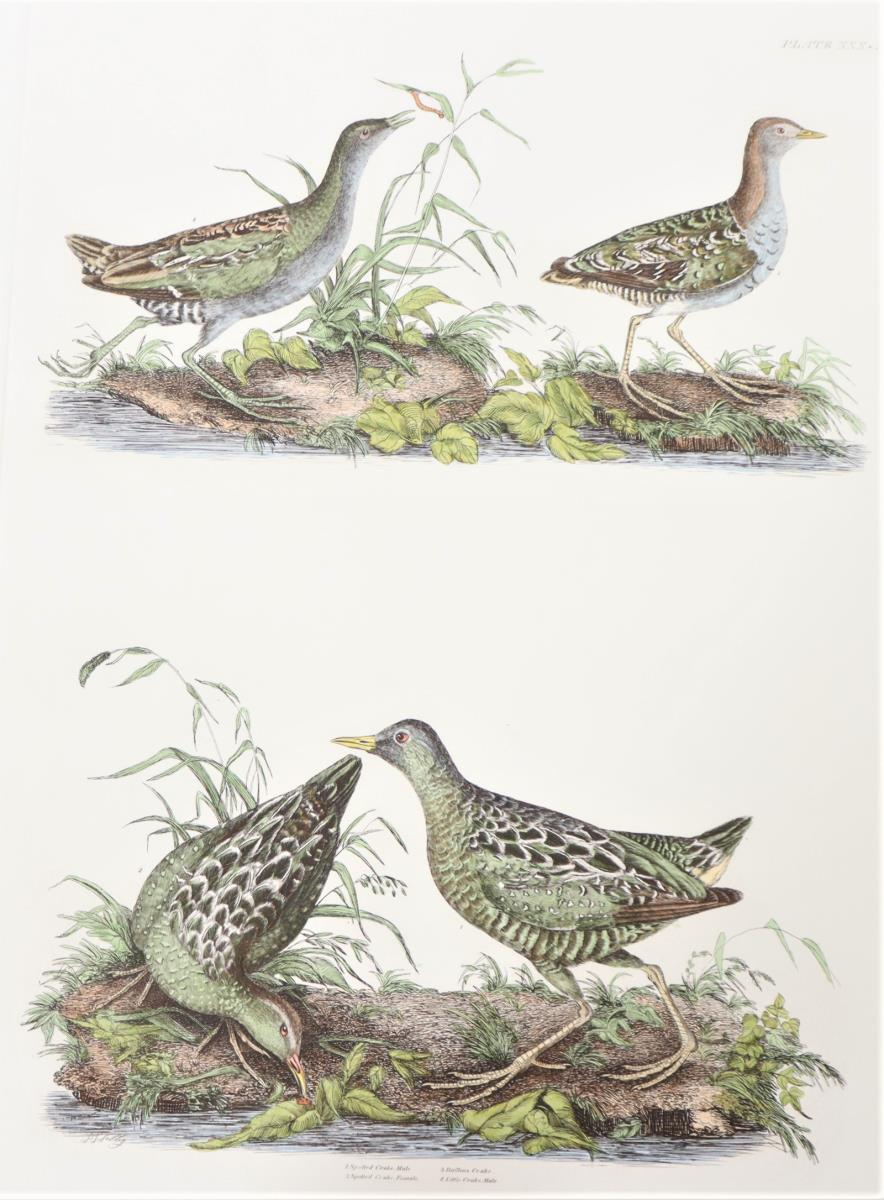 P J Selby, Hand-Colored Engraving, Crakes 19th C. - Image 2 of 4