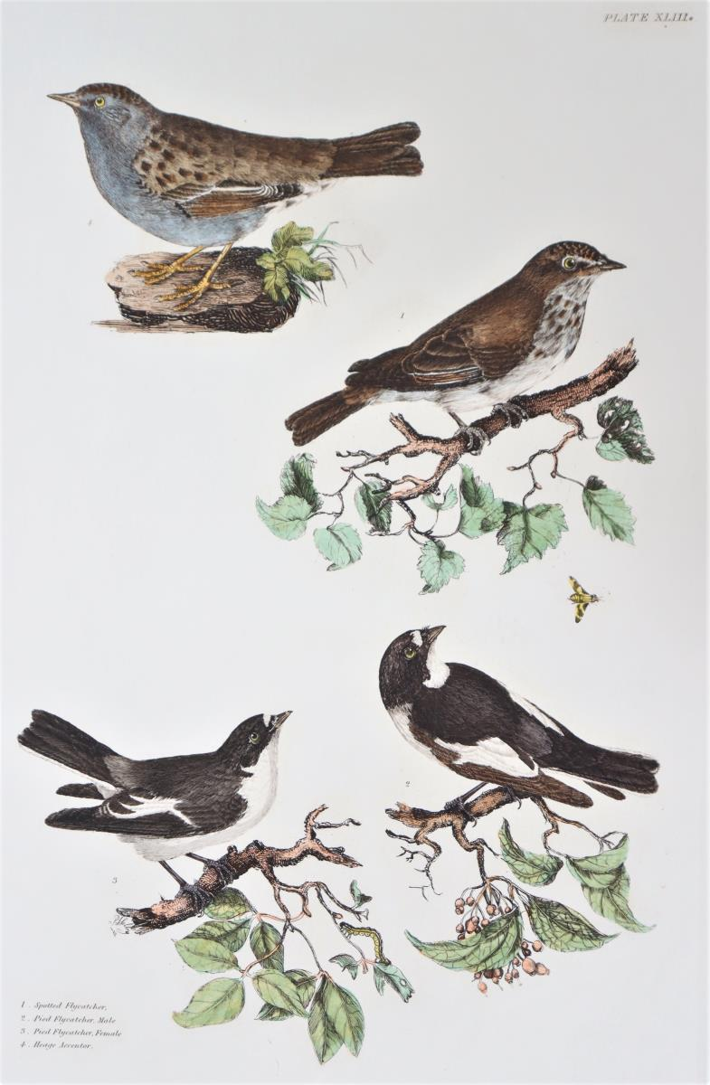 P J Selby, Hand-Colored Engraving, Flycatchers - Image 3 of 4