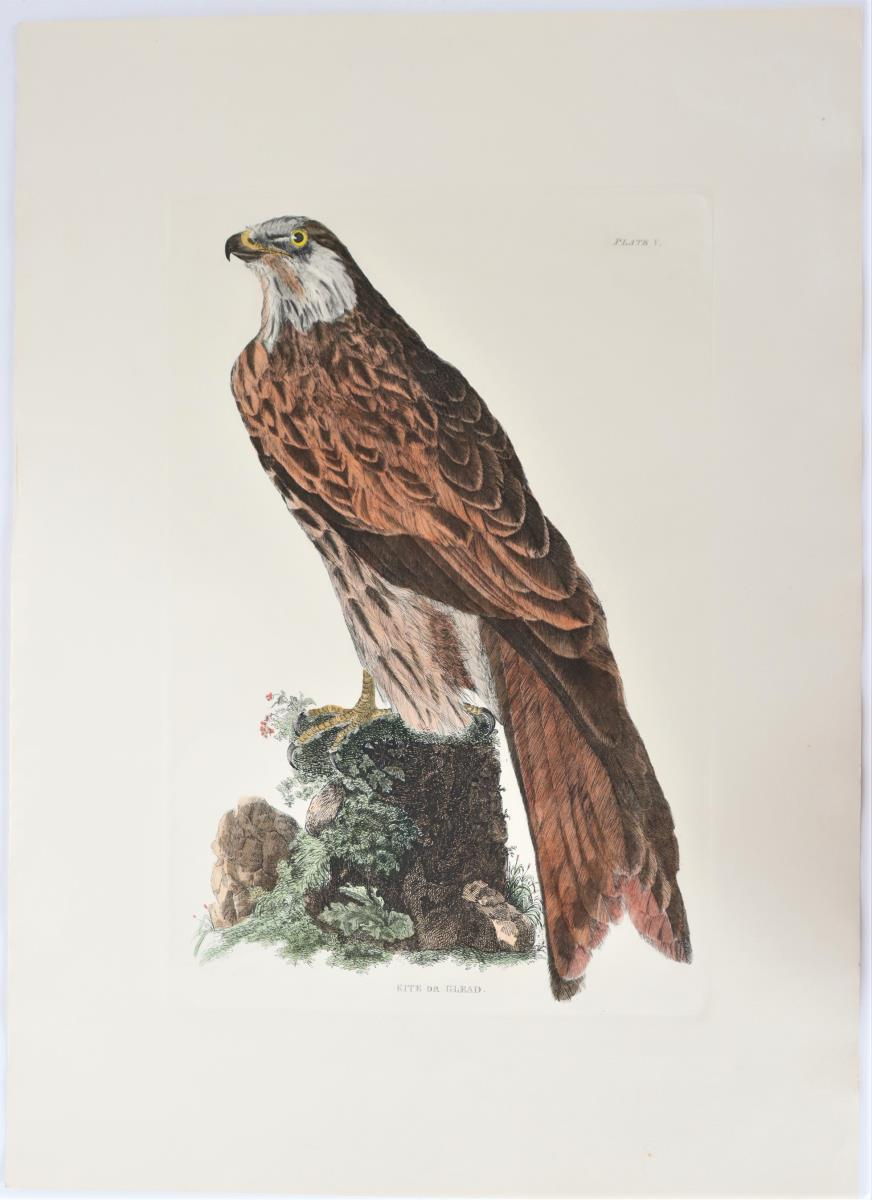 Selby, Hand-Colored Engraving, Kite or Glead 19thC - Image 2 of 4