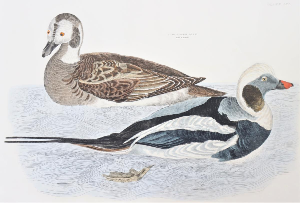 P J Selby, Hand-Colored Engraving, Long-Tailed - Image 4 of 4