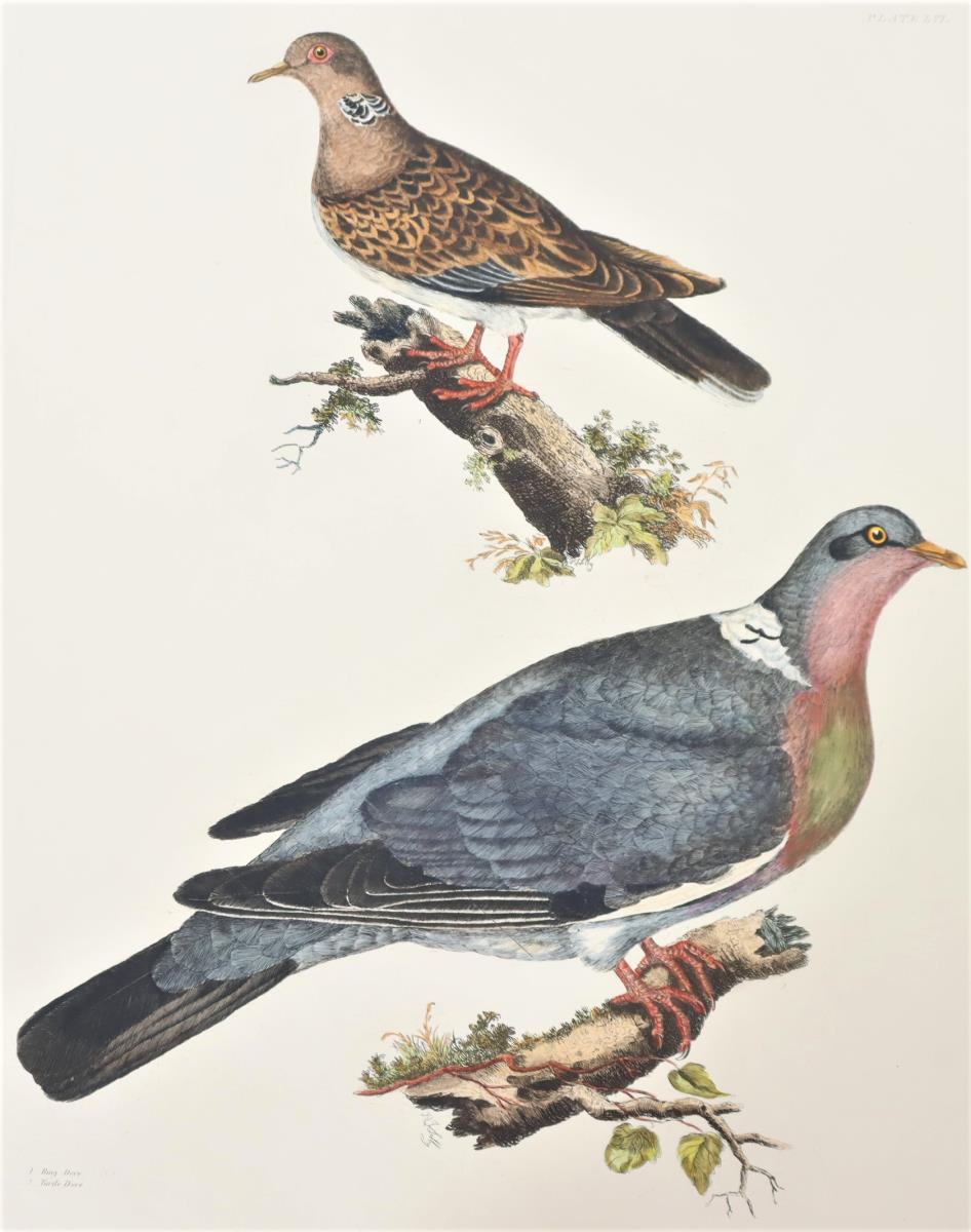 P J Selby, Hand-Colored Engraving, Doves 19th C. - Image 3 of 4