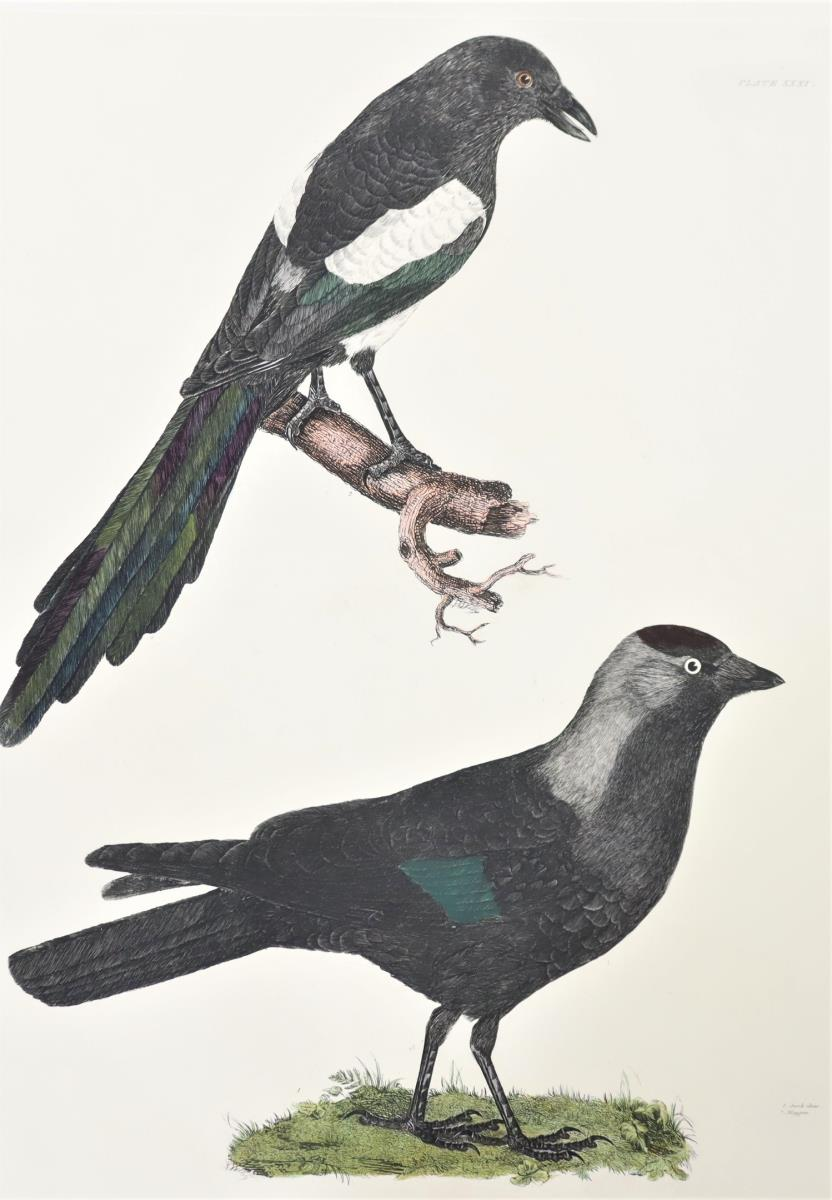P J Selby, Hand-Colored Engraving, Jack-daw, Magpi - Image 3 of 4