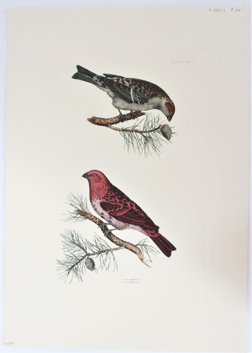 P J Selby, Hand-Colored Engraving, Pine Bullfinch
