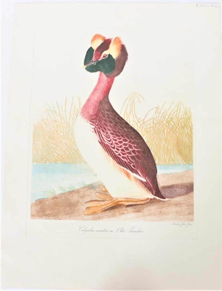 Audubon Hand-Colored Engraving, Horned Grebe 19thC