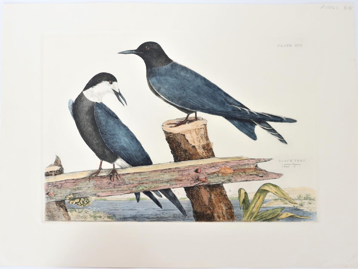 P J Selby, Hand Colored Engraving, Black Tern