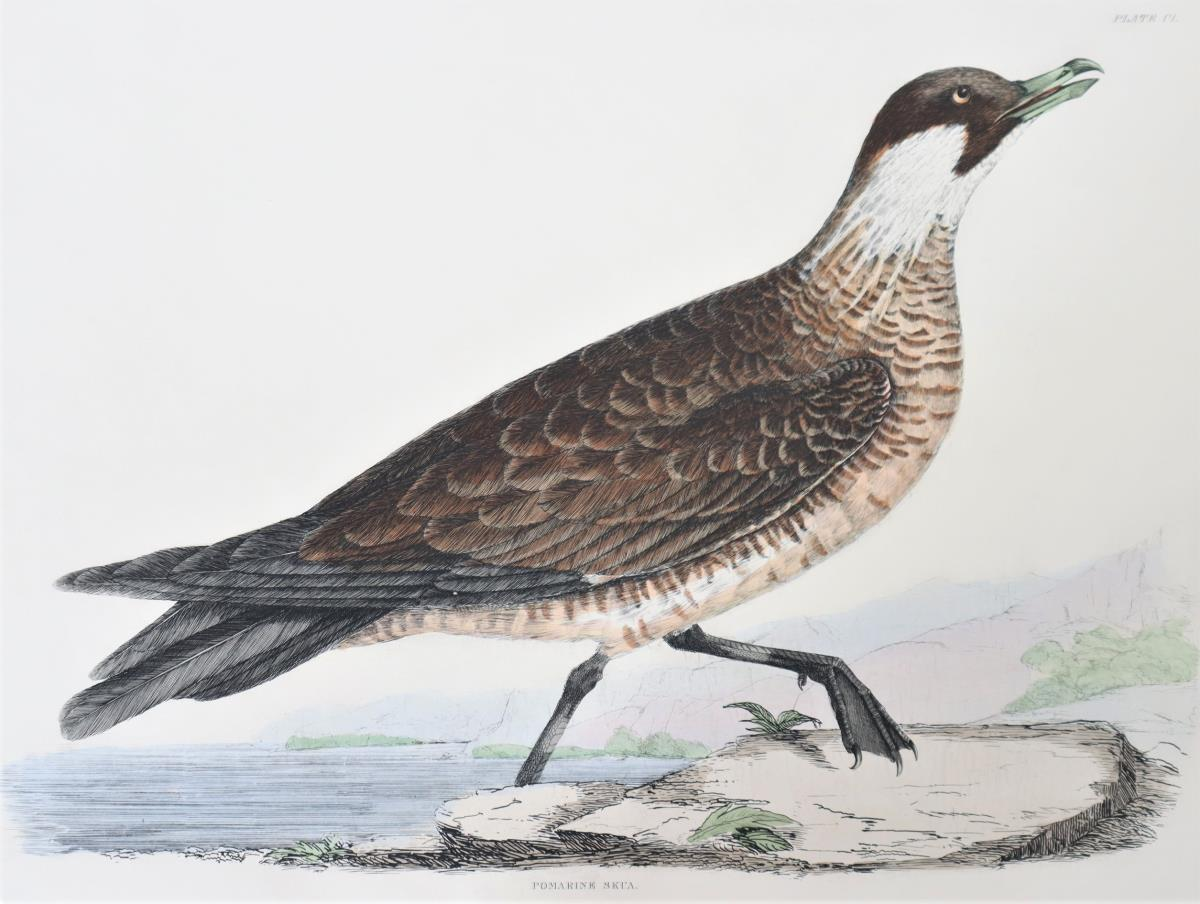 Selby, Hand-Colored Engraving, Pomarine Skua 19th - Image 4 of 4