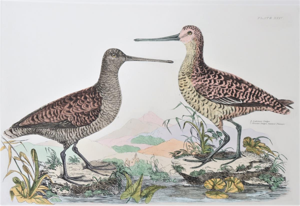 P J Selby, Hand-Colored Engraving, Snipes 19th C. - Image 3 of 7