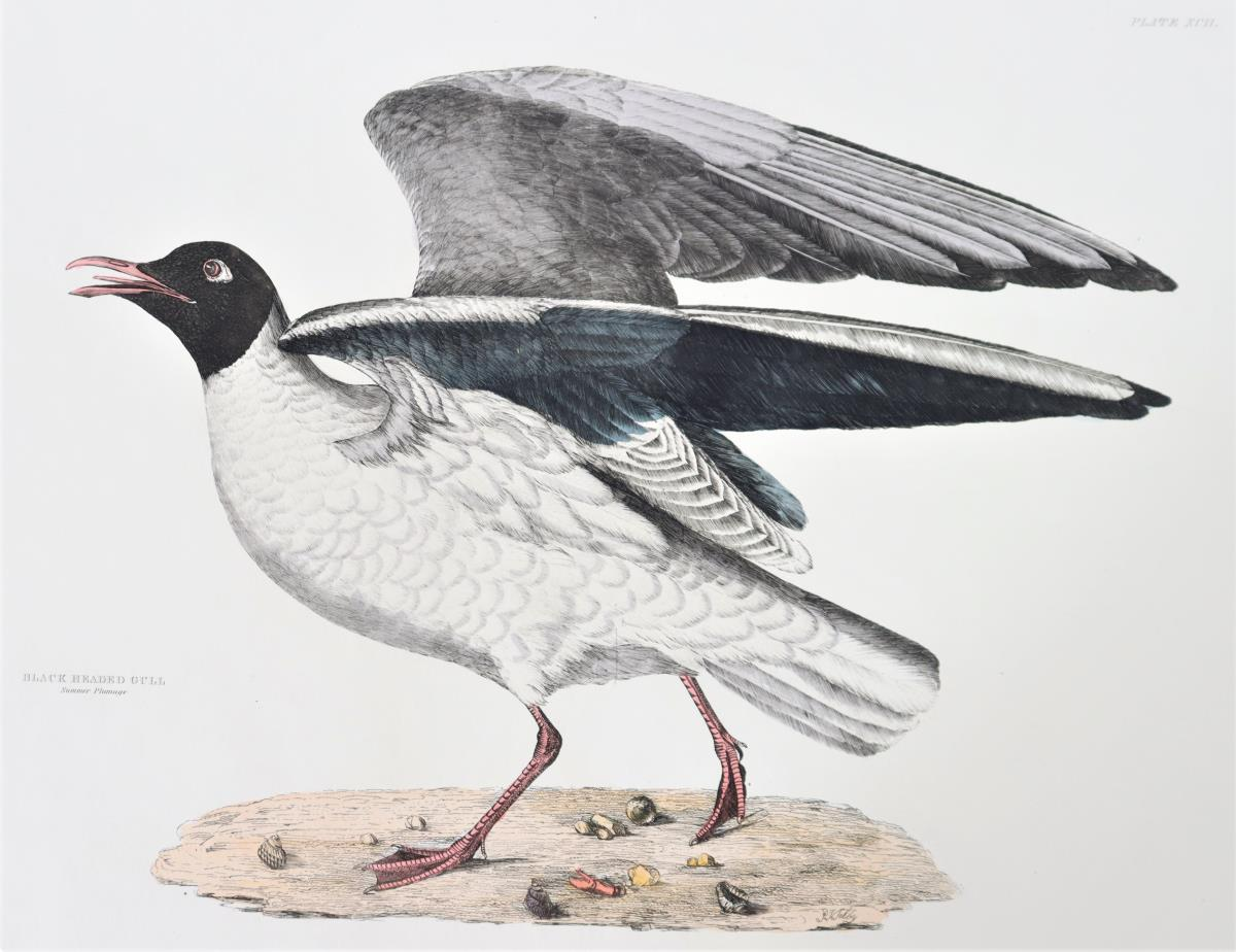 P J Selby, Hand-Colored Engraving, Black-Headed - Image 4 of 4
