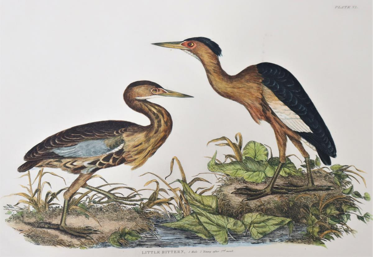 P J Selby, Hand-Colored Engraving, Little Bittern - Image 3 of 4