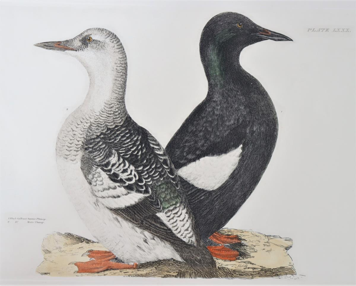 P J Selby, Hand-Colored Engraving, Black Guillemot - Image 3 of 4