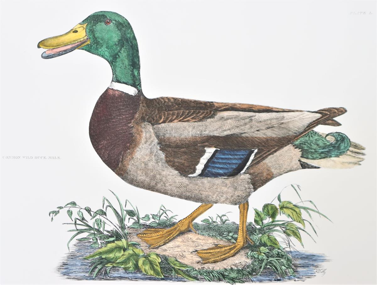 P J Selby, Hand-Colored Engraving, Wild Duck - Image 3 of 6