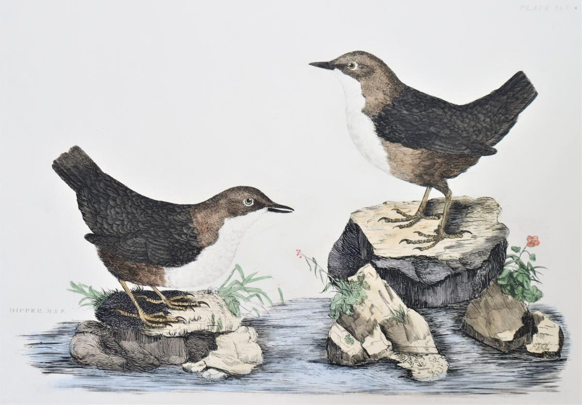 P J Selby, Hand-Colored Engraving, Dipper 19th C. - Image 4 of 4