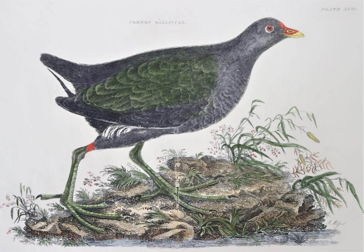 R Mitford, Hand-Colored Engraving, Common Gallinul - Image 4 of 6