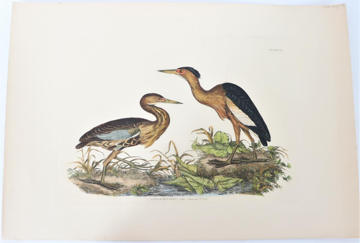 P J Selby, Hand-Colored Engraving, Little Bittern